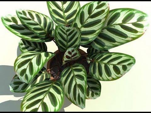 Почему у КАЛАТЕИ сохнут и скручиваются листья. Что делать?