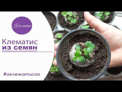 🌺 ВЫРАЩИВАНИЕ КЛЕМАТИСА ИЗ СЕМЯН – клематис из семян в домашних условиях от канала Клематис TV