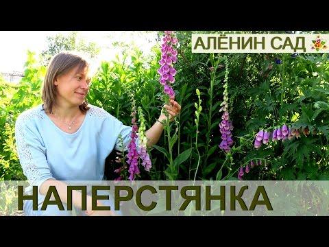 НАПЕРСТЯНКА цветение на второй год после посева! / Выращивание наперстянки