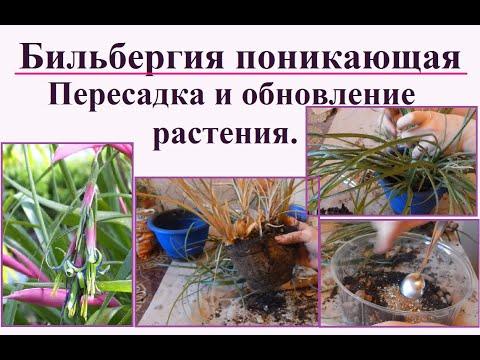 Бильбергия поникающая. Пересадка и обновление взрослого растения после цветения.