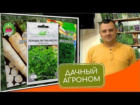 Топ-3 сортов петрушки для подзимнего посева: Маэстро, Корневая Берлинская, Кучерявая Москраузе