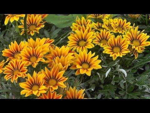 Газания: выращивание и уход