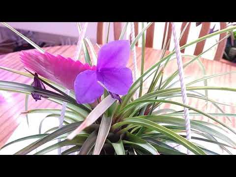 Тилландсия синяя Tillandsia cyanea Pink quill plant