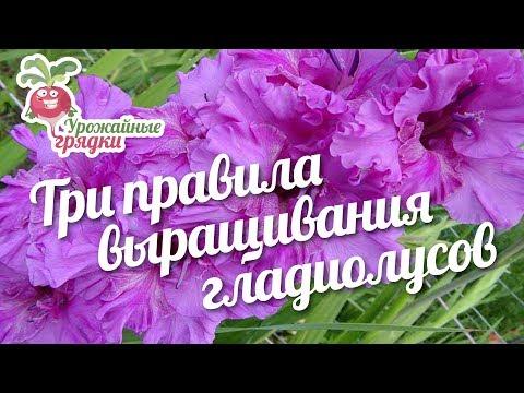 Три правила выращивания гладиолусов #urozhainye_gryadki
