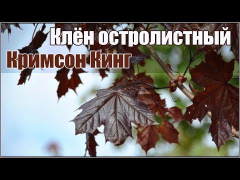 Клен остролистный Кримсон Кинг - стратификация и посадка семян