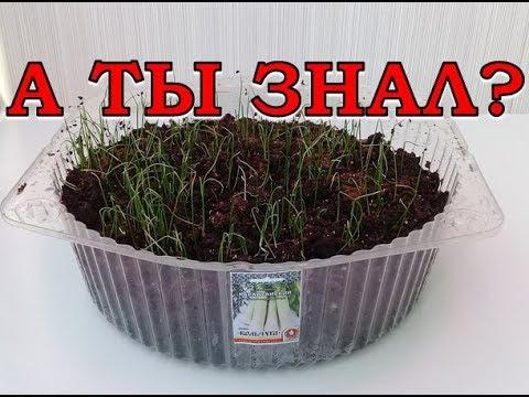 ЛУК ПОРЕЙ: выращиваем через рассаду