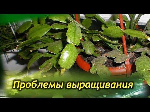 ДЕКАБРИСТ (Шлюмбергера) почему опадают листья? Проблемы выращивания и болезни растения!