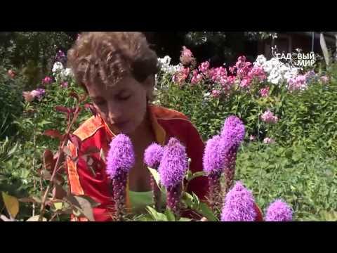 """Неприхотливые цветы. Лиатрис. Сайт """"Садовый мир"""""""