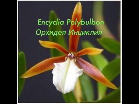 Орхидея Энциклия (Инциклия) / Epi.Polybulbum