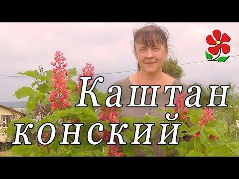 Каштан конский Павия (красные цветы) и другие!