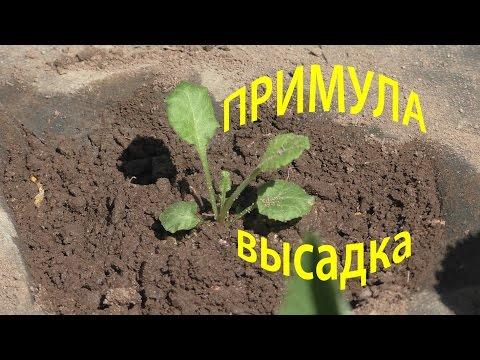 ПРИМУЛА ВЫСАДКА в огород, 12 мая 2016г.