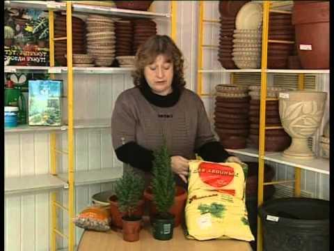 Как содержать хвойные растения в комнатных условиях.