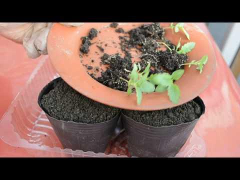 Вербена из семян! Вербена от посева до начала образования бутонов.