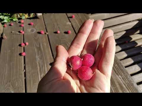 Боярышник крупноплодный в саду. Вкусная и полезная ягода.