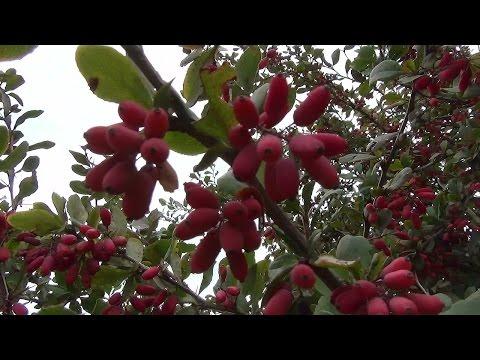 Барбарис обыкновенный. Common barberry.
