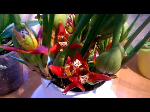 Максиллярия _ Уход за орхидеей в домашних условиях