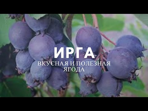 Ирга – полезные свойства чудо-ягоды.