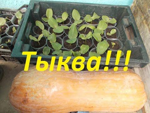 Как посадить тыкву??? Простой, но очень эффективный метод для получения урожая!!!