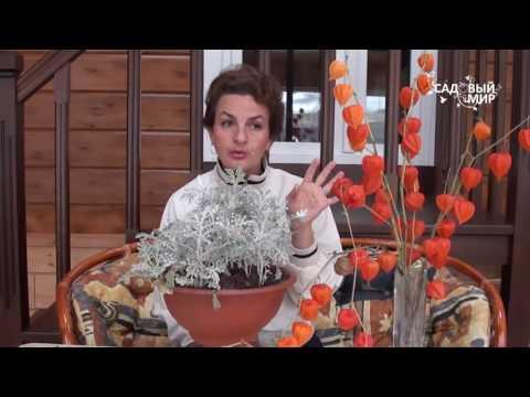 Однолетние цветы Цинерария морская и цинерария гибридная.