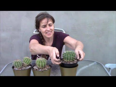 Кактус эхинопсис, любимец народа ! Урок по пересадке кактуса. Род эхинопсис.