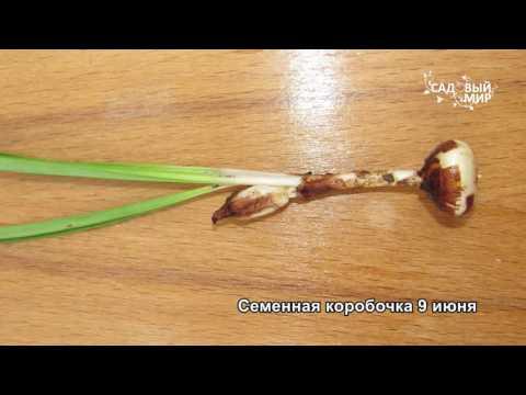 Как размножить крокусы семенами