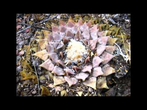 Ариокарпус притупленный - кактус из рода Ариокарпус (Ariocarpus retusus)