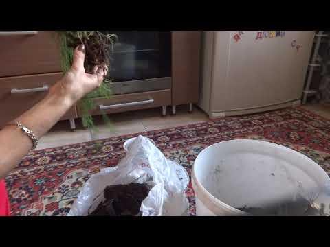 Комнатные цветы/растения. Рипсалис-Хатиора. Пересадка-обновление. Цветение гибискуса.