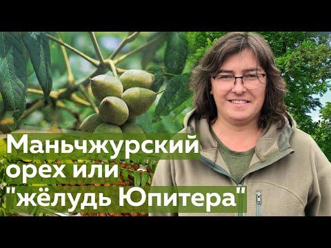 """Орех Маньчжурский или """"жёлудь Юпитера"""""""