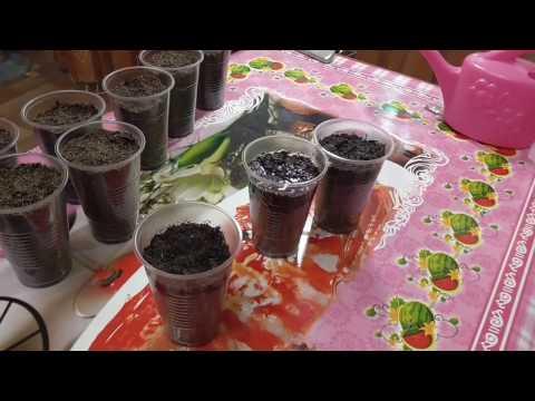 Выращивание из семян /Альбиция и Сакура
