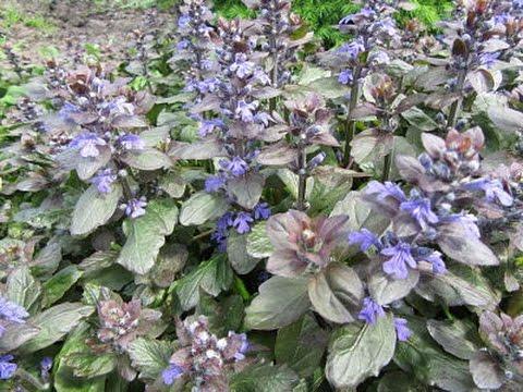 Живучка (Аюга) - красивый почвопокровный многолетник для вашего сада