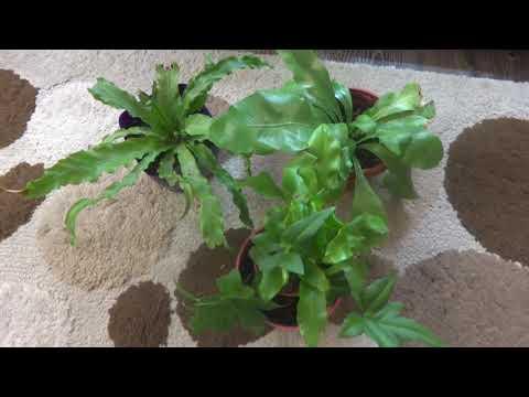 Комнатные цветы/растения. Асплениум. Новичок и старички.