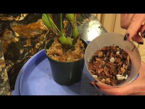 Орхидея максиллария. MAXILLARIA tenuifolia. Пересадка. Немного об уходе. Орхидея в воде.