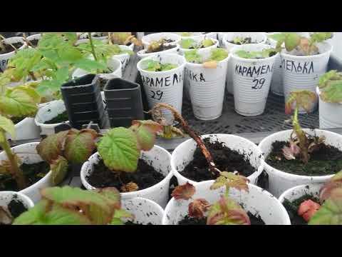 Лёгкий и простой способ размножения ремонтантной малины корневыми черенками.