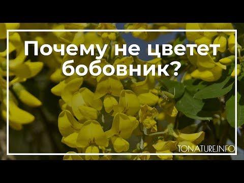 Почему не цветет бобовник? | toNature.Info