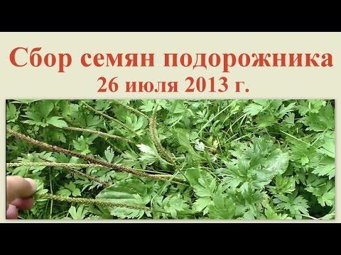Сбор семян подорожника 26 июля 2013