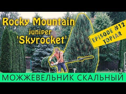 Стрижка и формировка СКАЛЬНЫЙ Можжевельник SKYROCKET/ топиар /Властелин туи/