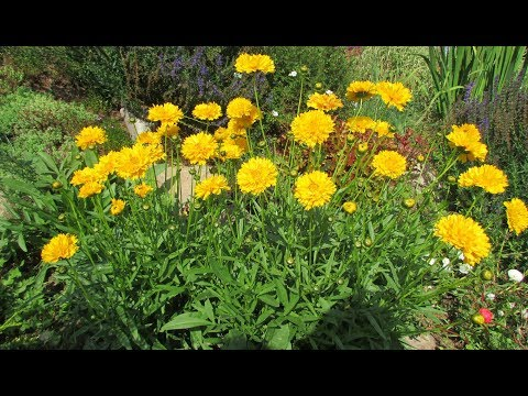 Кореопсис – выращивание и уход. Цветение в первый год