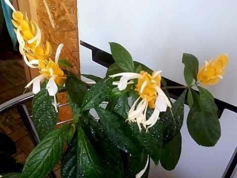 Пахистахис комнатные цветы легко вырастит