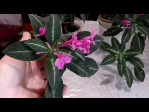 Руэллия Девоса (Ruellia devosiana) , а вы знаете такое комнатное растение?