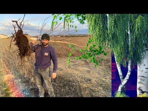 Какие деревья посадить возле дома , Сажаем берёзу ! Посадка берёзы , СОЖАЕМ СОСНУ