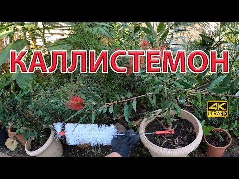 Каллистемон в тропическом саду у нас в Ростове-на-Дону. Цветение, советы.