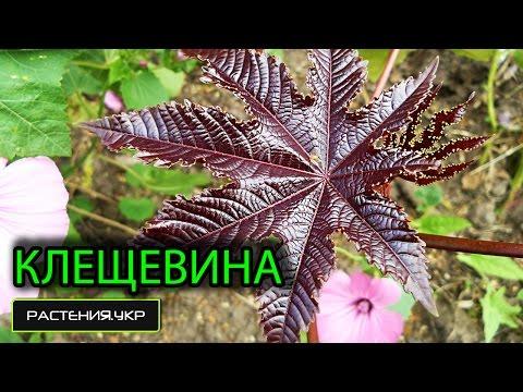 Клещевина посадка и уход / Клещевина выращивание из семян