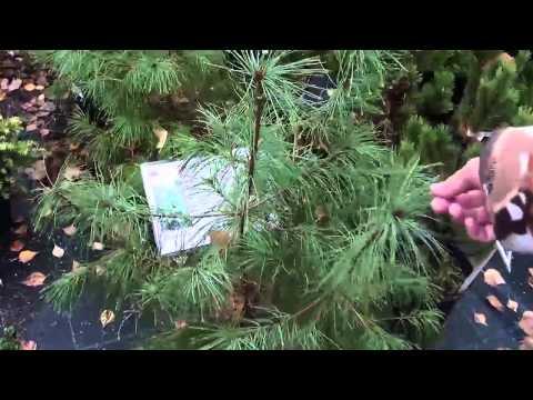 """Хвойные растения для сада Сосна, тсуга. Сайт """"Садовый мир"""""""