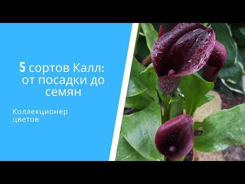 🌷 5 сортов Калл (Зантедеския) от посадки до семян: пересадка, уход, размножение