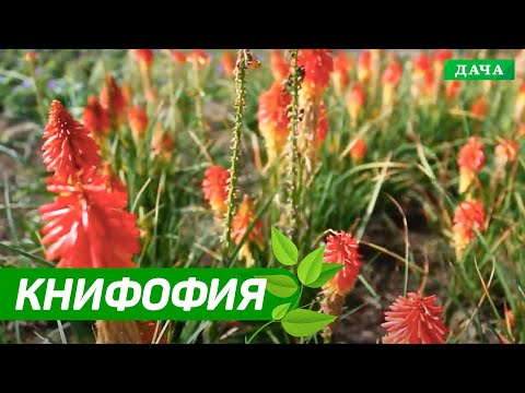 ДАЧНИКИ: КНИФОФИЯ - Африканская трава у вас на даче