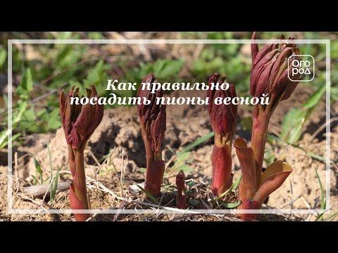 Как правильно посадить пионы весной