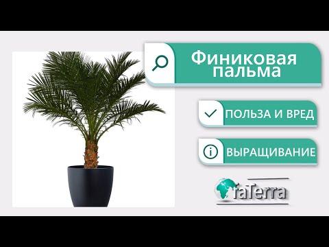 Финиковая пальма: выращивание. Польза и вред растения