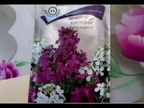 Вечерний цветок - Вечерница Матроны (ночная фиалка). Выращиваем рассаду..