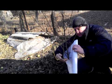 Укрытие персика на зиму спанбондом (лутрасил).Защита от вымерзания и подмерзания.