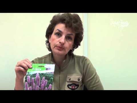 """Неприхотливые садовые цветы Лиатрис. Сайт """"Садовый мир"""""""